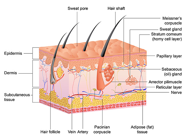 anatomy-of-scalp